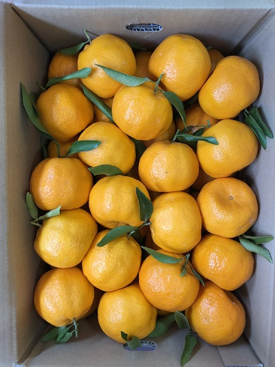 那須さんの葉付き「ポンカン」5kg箱入り 36〜38玉入り ※小ぶり (税込・送料別)