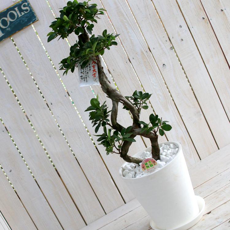 ガジュマルの木 8号鉢(観葉植物 鉢植え)