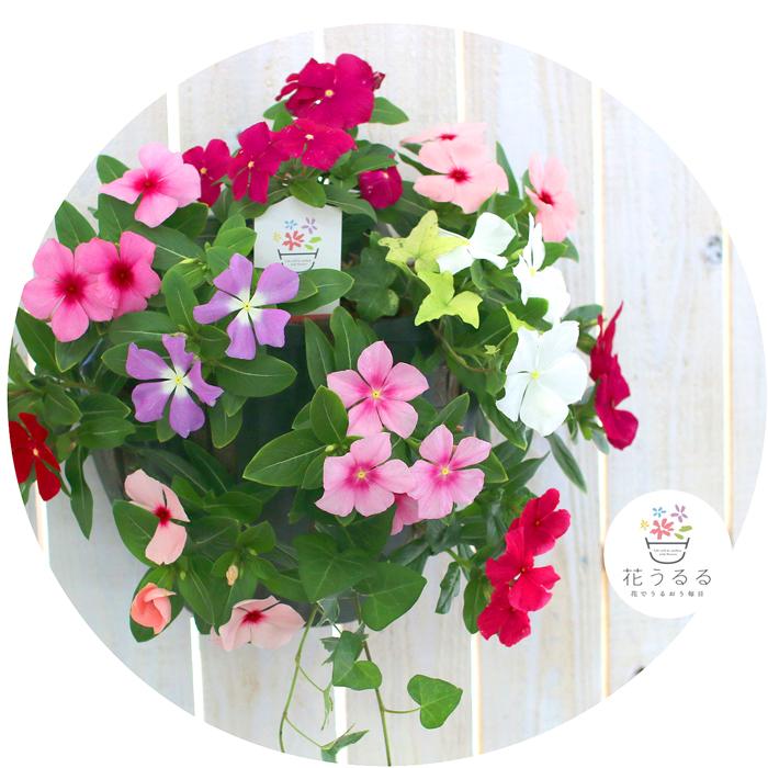 花うるるのハンギング寄せ植え「ニチニチソウのカラフルMIX」