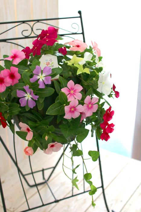 ハンギング寄せ植え「ニチニチソウのカラフルMIX」開花期:〜11月