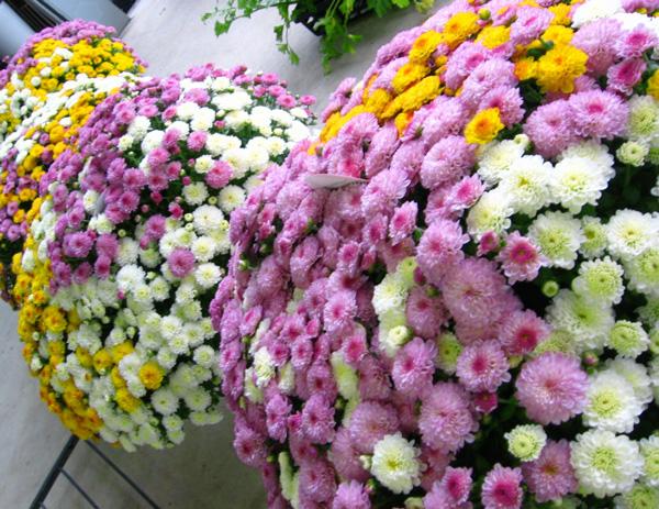 満開時は、、なんと1 0 0 0 輪咲き! 秋咲きガーデンマムのメガ盛り鉢植え〜グランデ サイズ (3色ミックス植え)
