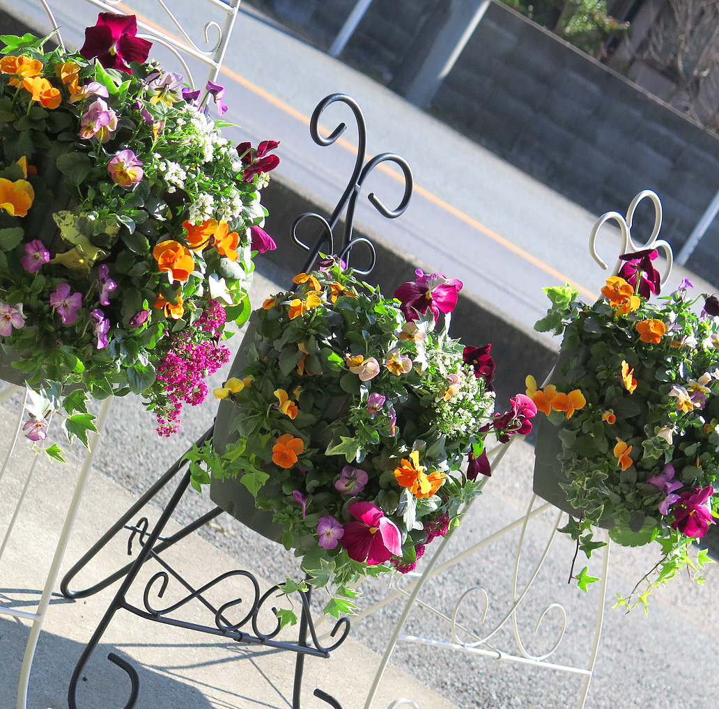 [送料無料] パンジー&ビオラのハンギングバスケット寄せ植え「カシスオレンジ」 (Mサイズアレンジ)開花期:今から春まで