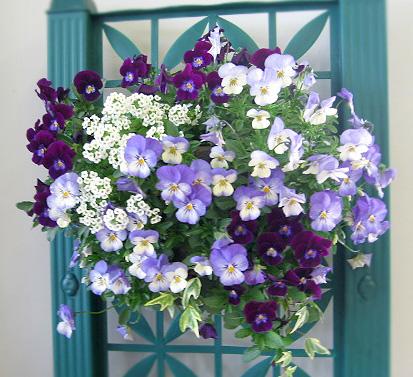 ビオラのハンギングバスケット寄せ植え「アクアブルー」(シンプル)  開花期:今から5月まで