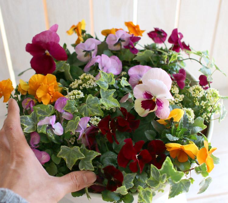 パンジー&ビオラの寄せ植え「カシスオレンジ(プランターver)」(3色から選べる)開花期:今から春まで
