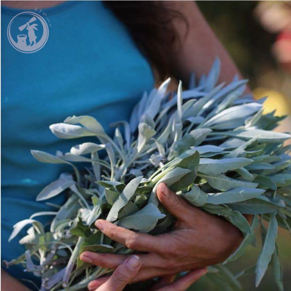 限界価格に挑戦中 カリフォルニア産 無農薬 天然枝付 ホワイトセージ アメリカ直輸入 約45g