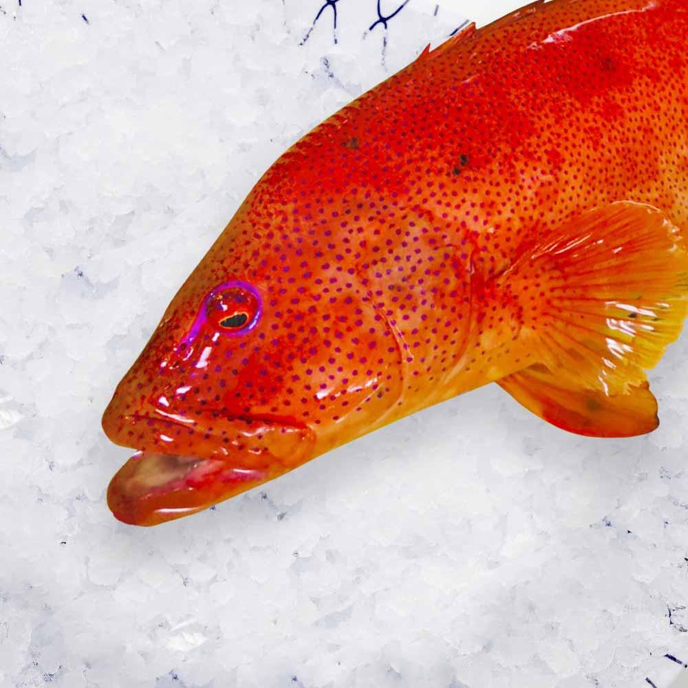 高級魚アカセビ(スジアラ)(赤セビ) ブロック約500g【牛深漁港直送】