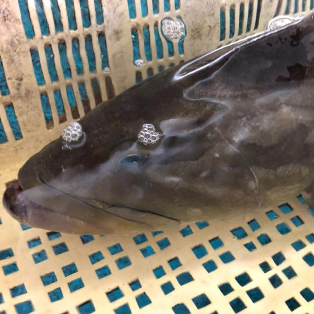 超高級魚 幻の魚 アラ(クエ) ブロック約500g【牛深漁港直送】