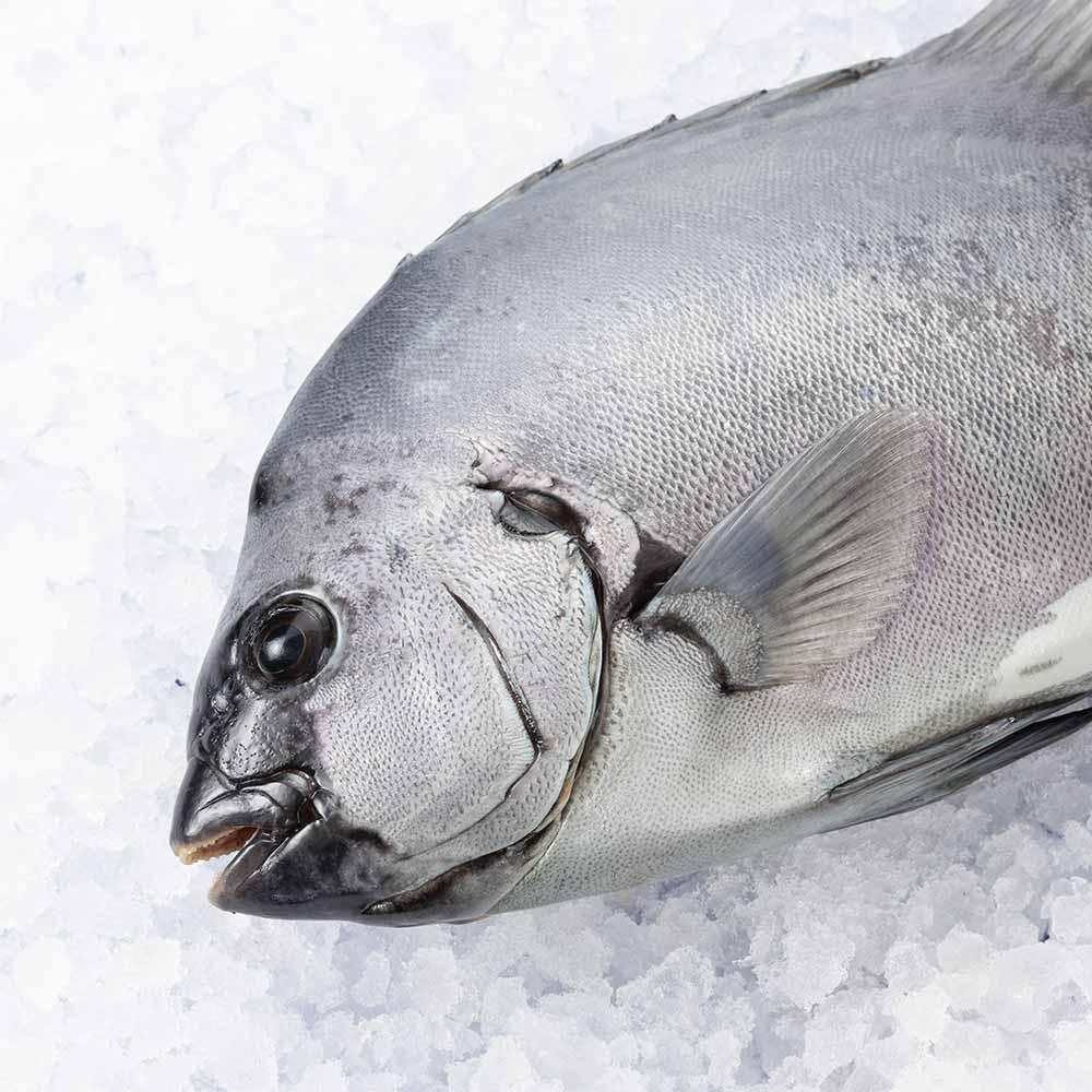 石鯛(イシダイ) 1尾 約1kg【牛深漁港直送】