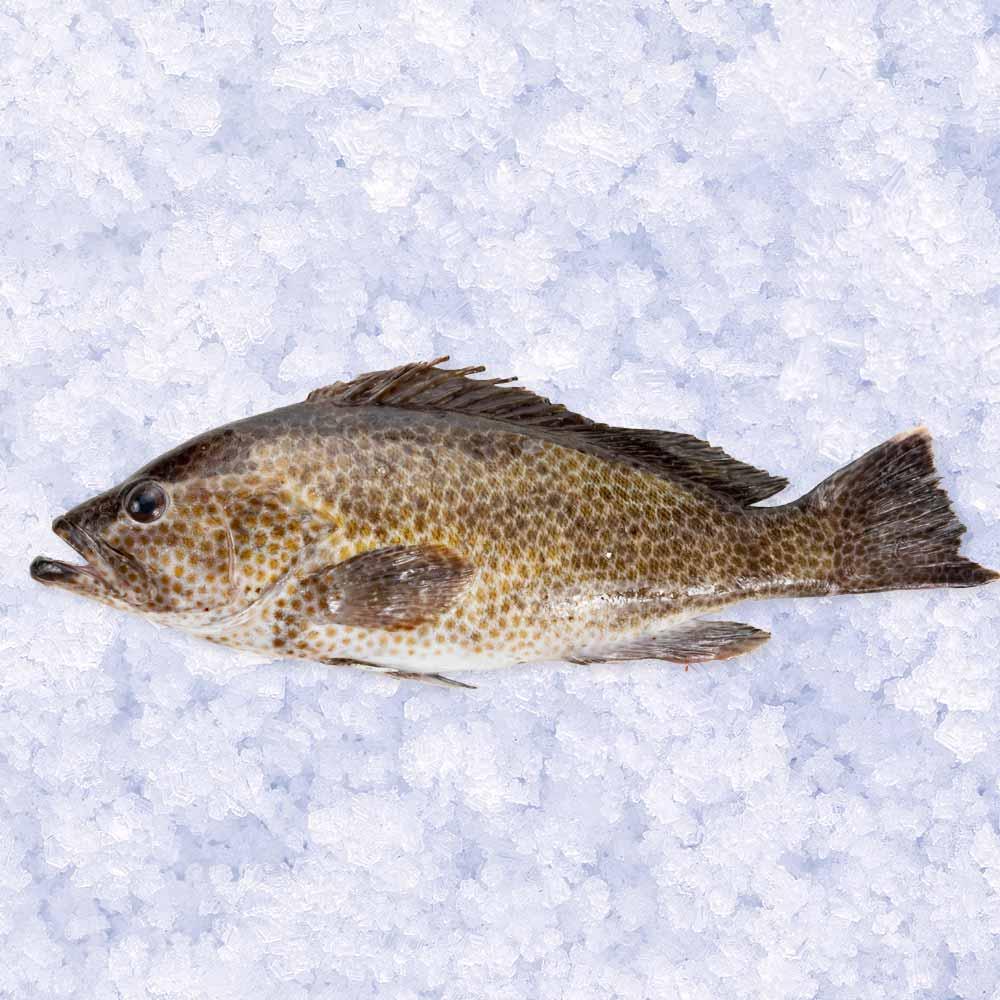 高級魚ゴマアコウ 1尾 約1kg【牛深漁港直送】
