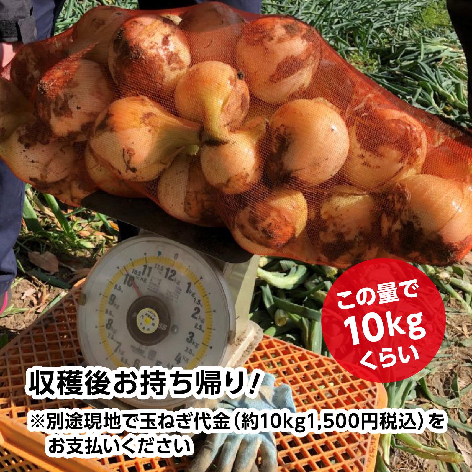 """細谷農園""""白子たまねぎ狩り"""""""