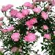 母の日 早割 送料無料 プレゼント ギフト 花 鉢植え 生花 つる バラ ローズ 薔薇 ばら 寄せ植え 鉢付き ミニアーチ H38 No.8 ミニバラ おしゃれ かわいい 人気