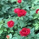 母の日 早割 送料無料 プレゼント ギフト 花 鉢植え ミニバラ バラ ローズ 薔薇 ばら 生花 寄せ植え 籠付き サンキュー バスケット 籠 H37 No.37 おしゃれ