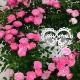 母の日 早割 送料無料 プレゼント ギフト 花 鉢植え つる バラ ローズ ピンク 薔薇 ばら 寄せ植え 生花 ハート リング ミニバラ ななめハート 鉢 H40 No.3