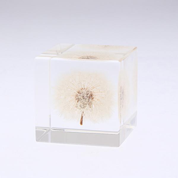 タンポポ 4cm Sola cube 宙 ソラキューブ ウサギノネドコ おしゃれ インテリア 立体標本 透明 植物 小物 クリア プレゼント 女性 男性 ラッピング ギフト 箱 春