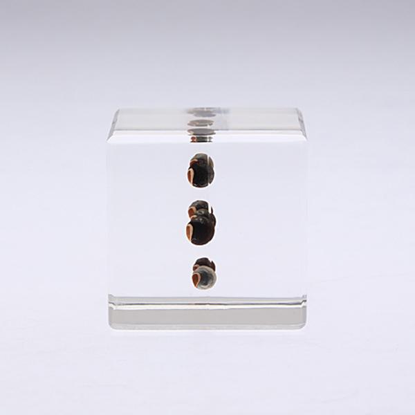 フウセンカズラ Sola cube 宙 ソラキューブ ウサギノネドコ おしゃれ インテリア 標本 透明 植物 小物 クリア プレゼント 女性 男性 ラッピング ギフト 箱