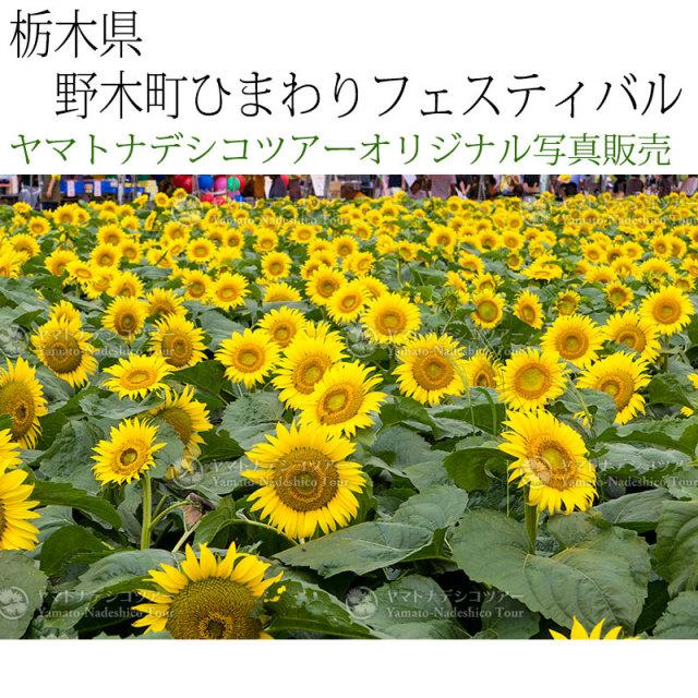 日本紀行 栃木県 野木町ひまわりフェスティバル (nk09-160723-142) 当店オリジナル写真販売 Photo frame, Nogimachi Sunflower Festival