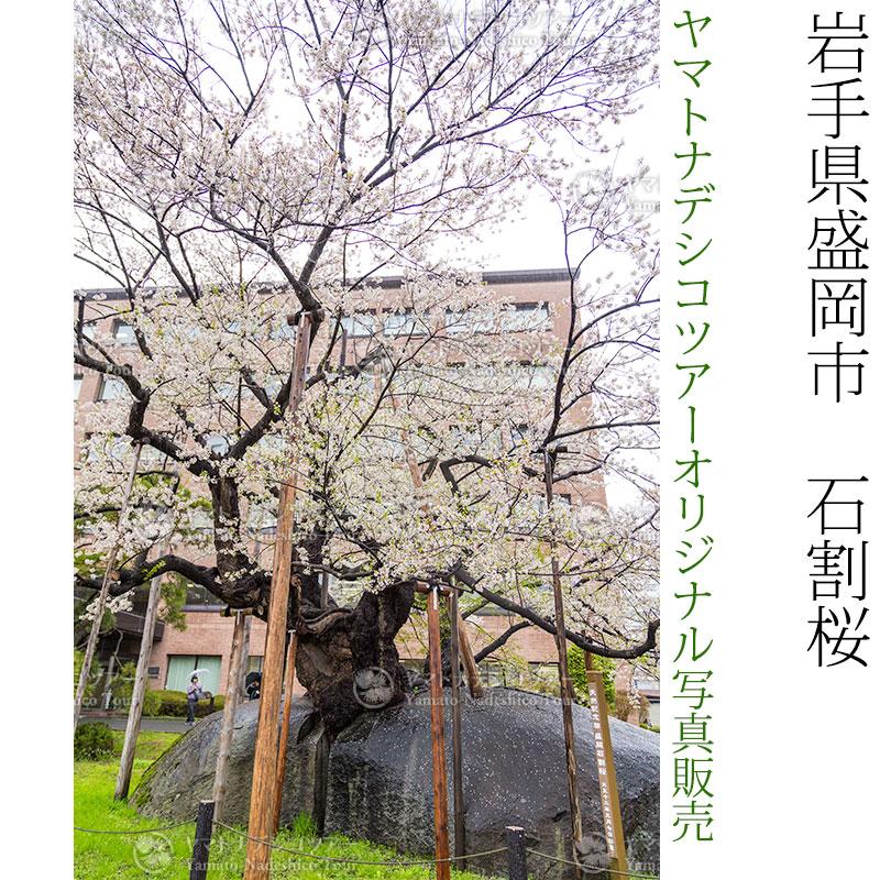 日本紀行 岩手県盛岡市 石割桜 (nk03-170426-19) 当店オリジナル写真販売 Photo frame, Ishiwari Sakura