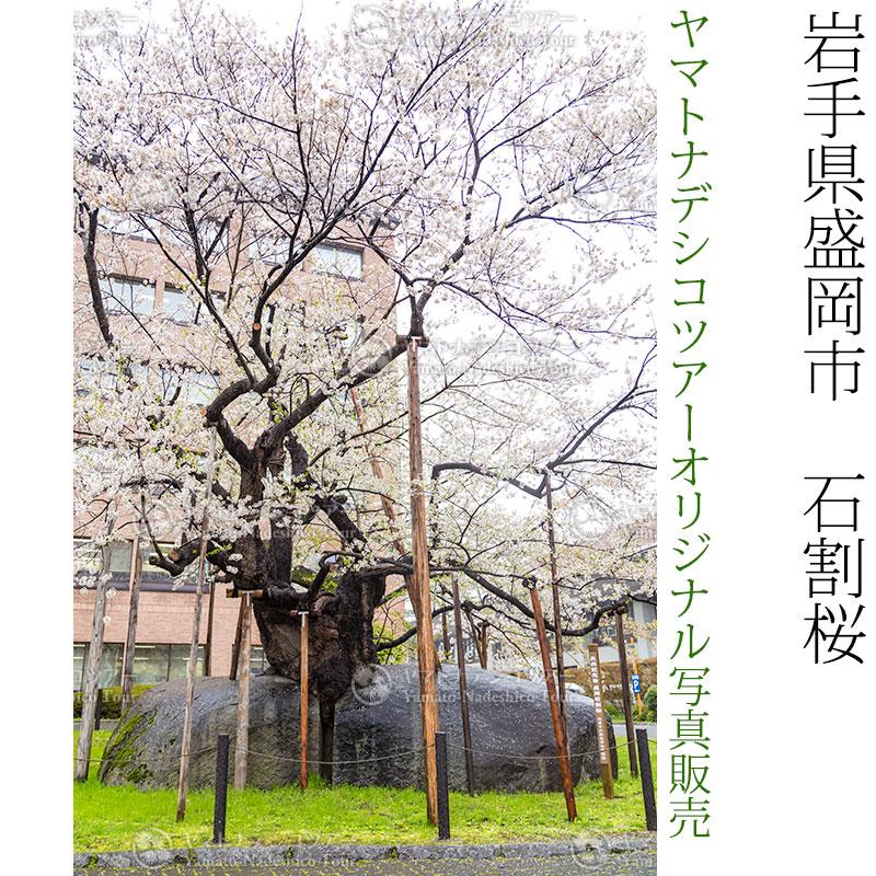 日本紀行 岩手県盛岡市 石割桜 (nk03-170426-64) 当店オリジナル写真販売 Photo frame, Ishiwari Sakura