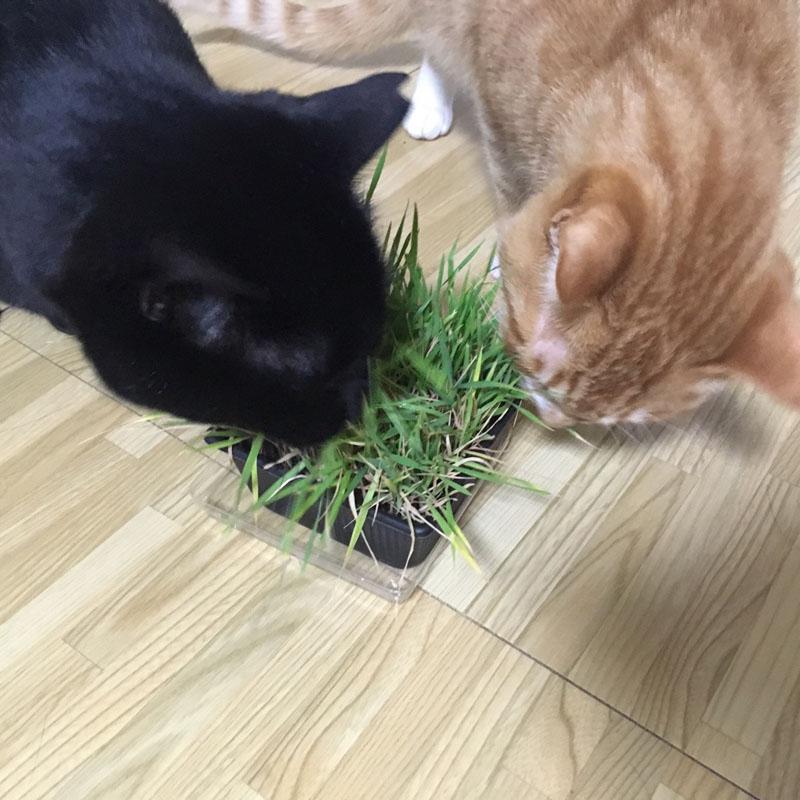 にゃんのはな オーガニック猫草栽培キット