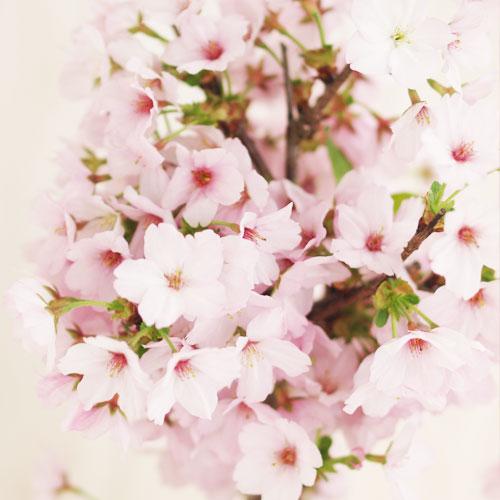 今年は自宅でお花見!【春開花】桜 御殿場盆栽 【送料込】(予約販売3/10〆切)