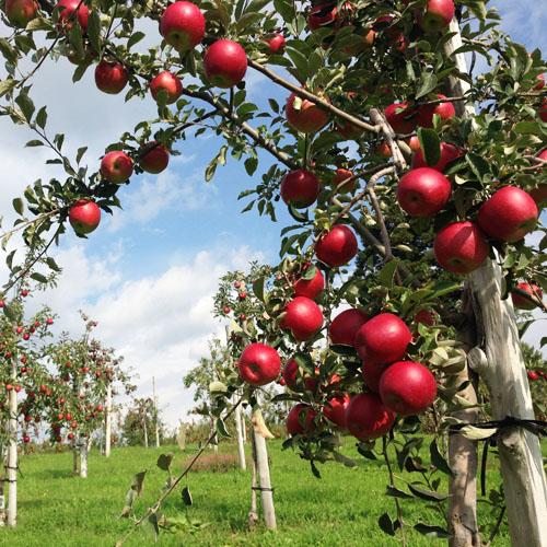 【青森のりんご園から直送】りんご果汁100%スパークリング「アプリモ」と紅玉100%りんごジュース