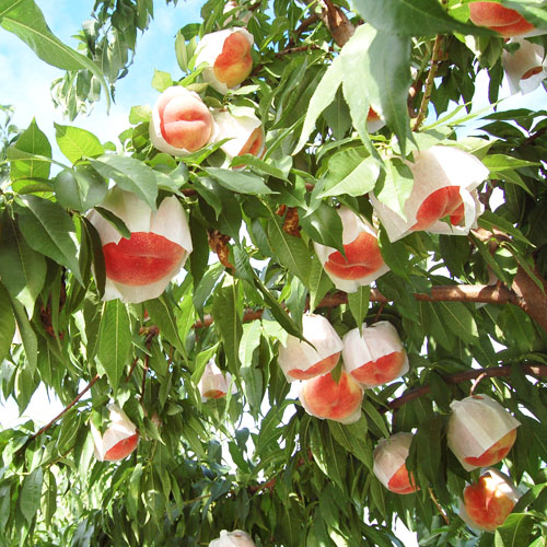 28品種から厳選6品種!木なり完熟桃 丸搾り『のむもも』6本