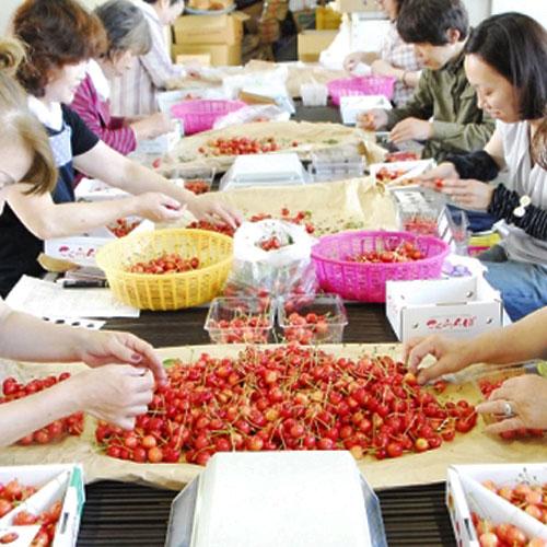 【予約受付】山形「紅秀峰」さくらんぼ バラ詰め500g (〆切6/10)