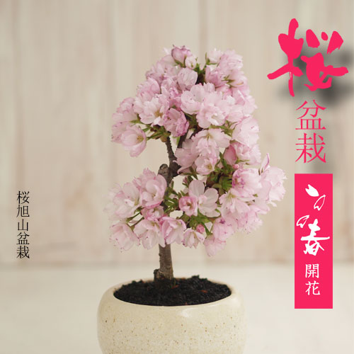 今年は自宅でお花見!【春開花】桜 旭山盆栽 【送料込】(予約販売3/10〆切)