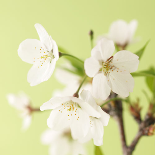 今年は自宅でお花見!【春開花】桜 吉野盆栽 【送料込】(予約販売3/10〆切)