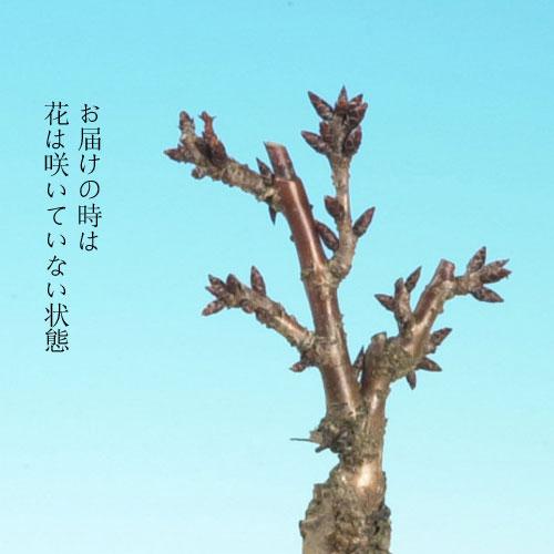 今年は自宅でお花見!【春開花】一才藤・旭山桜 寄せ植え【送料込】(予約販売3/10〆切)