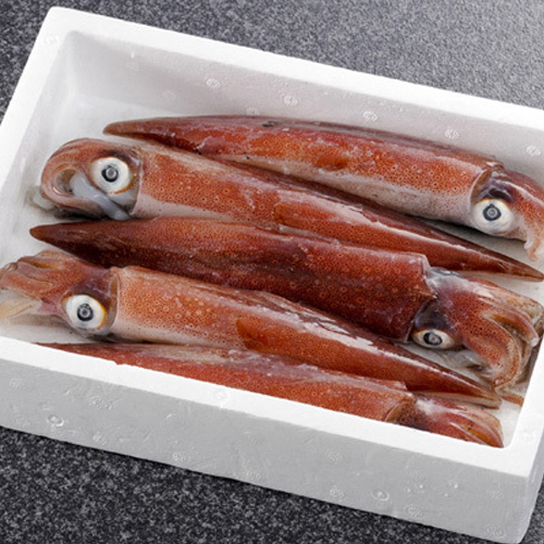 まるでイカのトロ。甘くてねっとり!日本海の天然白いか 5匹