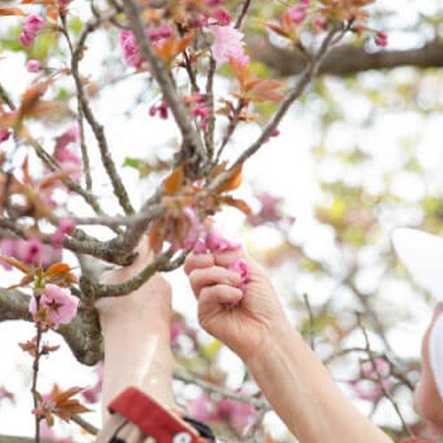 【春限定】「岡山蜜会」八重桜の濃厚なまじわり(4本入)※4/20最終〆切