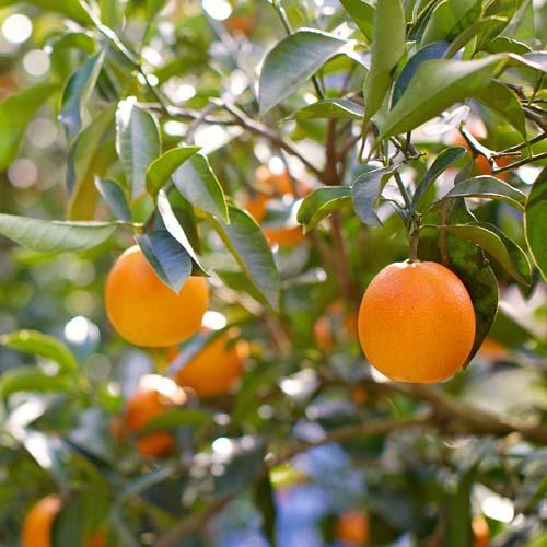 愛媛の希少柑橘ブラッドオレンジジュース 〜至高の一滴〜 2本