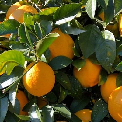 マイヤーブルワリー3種(IPA・マイヤーレモン・フルーツ)×各2本<6本セット>
