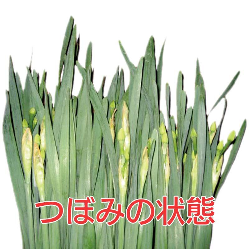 一般用水仙 (45cm以上 3〜4枚葉指定なし) 30本