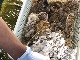 久米島の海洋深層水で浄化した旬の国産真牡蠣10個 +無添加ガーリックオリーブオイル200g【送料込み】冷蔵発送