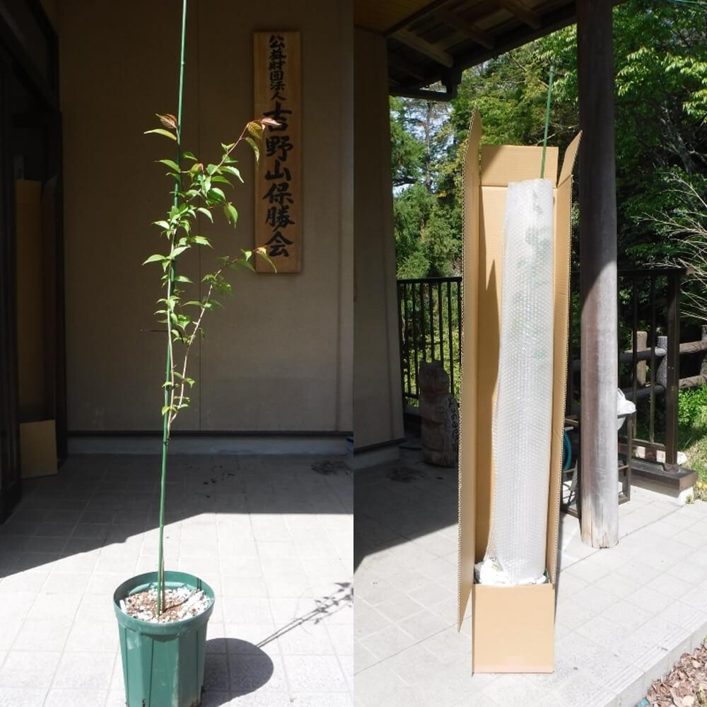 吉野山の桜の苗木