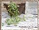 壁掛けタイプのフェイクグリーン スマイラックスリーフ バイン【フェイクグリーン リアル 壁掛けタイプ】【メール便160円 OK】