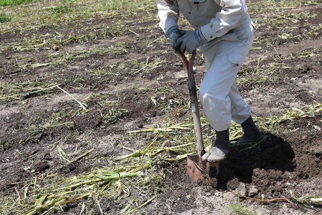 【7月上旬】直営農場の完熟にんにく1玉