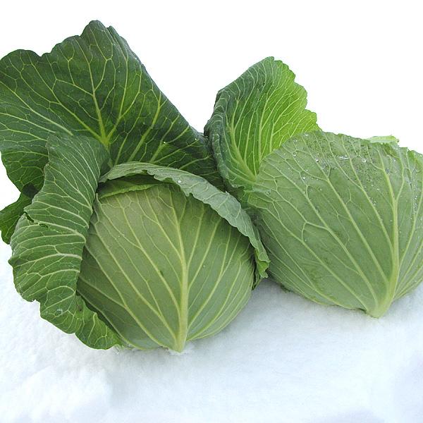 【12月上旬〜】やまがた雪ノ下野菜「あまごいキャベツ」1.4kg〜