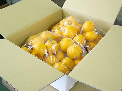【1月上旬〜の柑橘】甘さ抜群「ぽんかん」 2月8日限定出荷