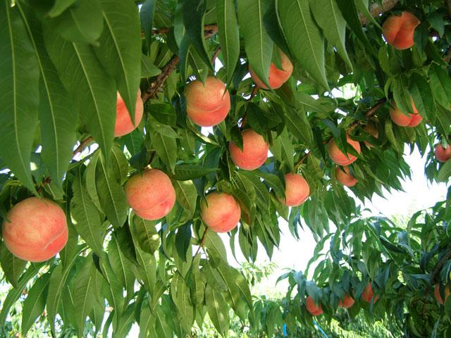 【8月中旬】おいしい桃・人気上昇中「まどか」