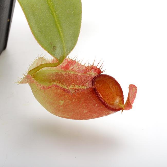 "Nepenthes ampullaria "" Red ""  [ ネペンテス・アンプラリア ] 【 PN200603-11 】"