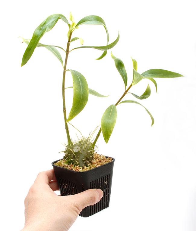 Squamellaria imberbis [ スクアメラリア・インベルビス ] 【 PN210506-08 】
