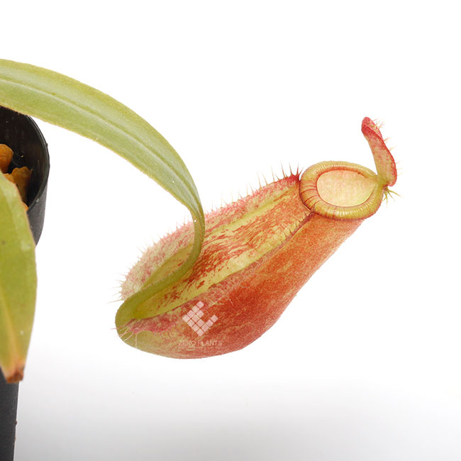 "Nepenthes ampullaria "" HARLEQUIN "" [ ネペンテス・アンプラリア ""ハーレクイーン"" ] 【 Borneo Exotics / BE-3681 】【 PN181130-04 】"