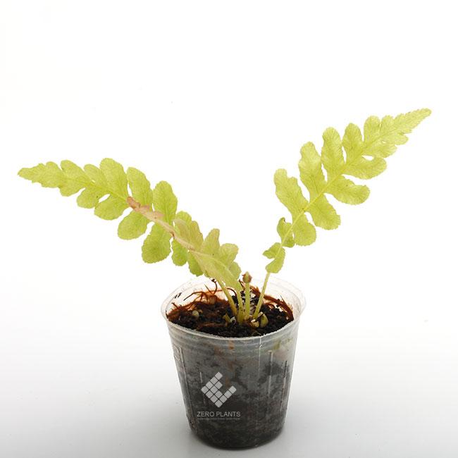 ブレクナム・ブラジリエンセ ' ボルケーノ ' 1ポット 【 ビバリウム、パルダリウムに使いやすい植物 】