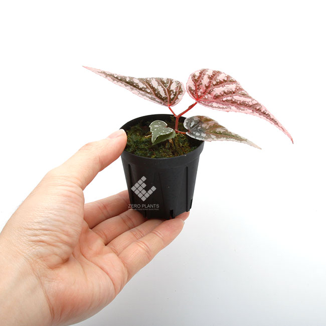 "Begonia sp "" Sarikei "" [ R1214-03a ] [ ベゴニアsp. ""サリケイ""] 1ポット"