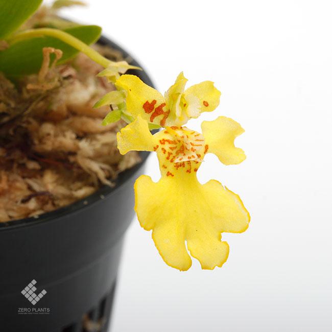 Erycina pusilla [ エリキナ・プシラ ] 1ポット