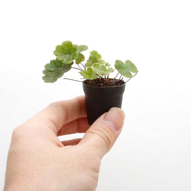 Doryopteris cordata [ ドニオプテリス・コルダータ ] 1ポット 【 パルダリウム、ビバリウムに使いやすい植物 】
