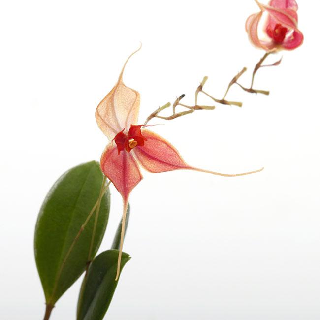 Lepanthes matamorosii [ レパンテス・マタモロシー ] 【 PN200306-09 】